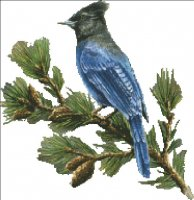 Mini Stellar Jay NO Background